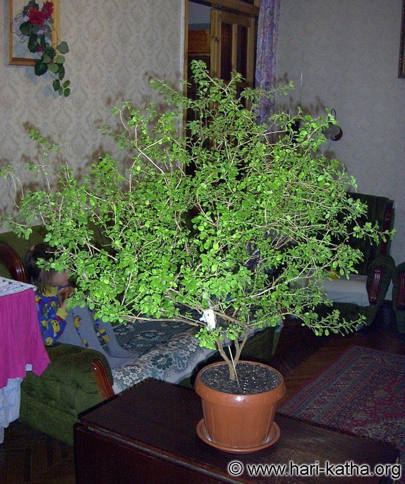 туласи дерево фото